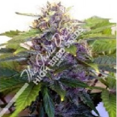 The Joint Doctor Seeds Purple Ryder Auto Feminized