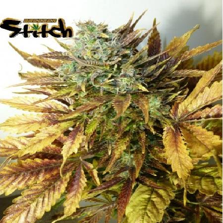Flash Seeds Purple Sirius Kush Auto Feminised