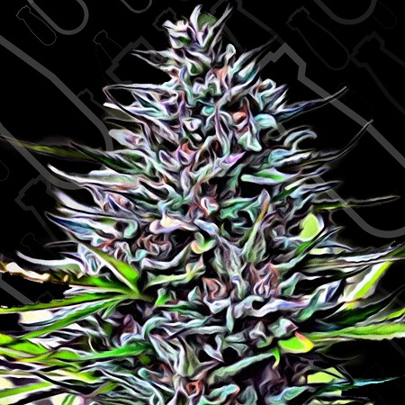 Critical Mass Collective Seeds Purple Skunk Mass Feminized (PICK N MIX)