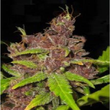 Flash Seeds Purple Mazar Auto Regular