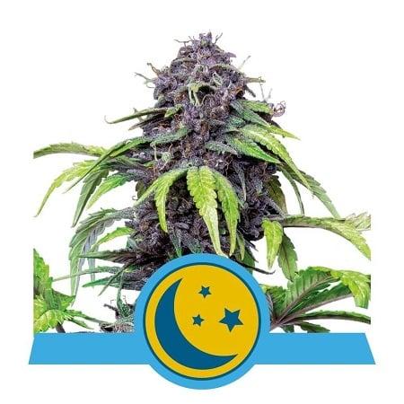 Purplematic CBD - Feminized - Royal Queen Seeds