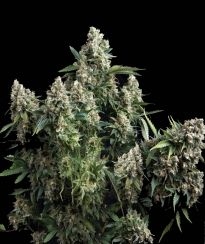 Pyramid Seeds Auto Tutankhamon Feminized Pick N Mix