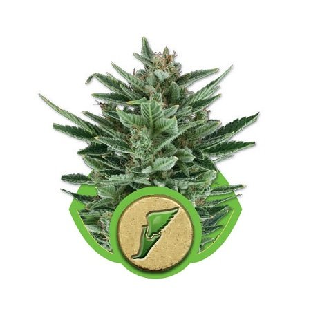 Royal Queen Seeds Quick One Auto Feminised