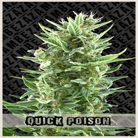 Zambeza Seeds Quick Poison Auto Feminized
