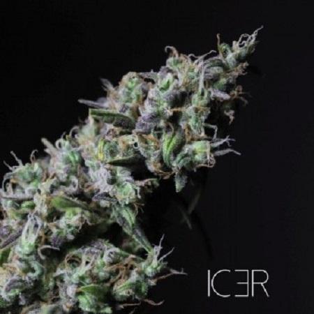 R-KIEM Seeds Icer Feminized (PICK N MIX)