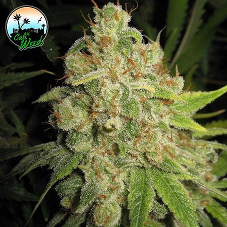 Raspberry Zkittlez - Feminized - Cali Weed