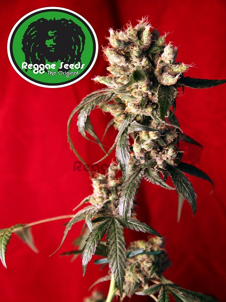 Reggae Seeds Roots Regular