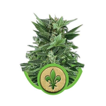 Royal Queen Seeds Royal Kush Automatic Feminised