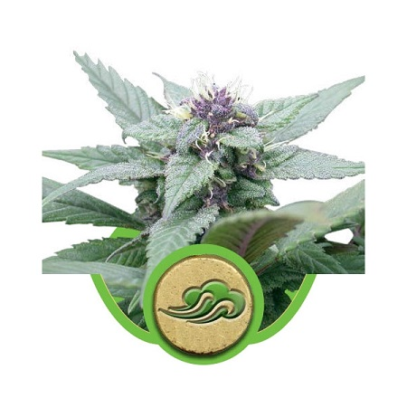 Royal Queen Seeds Royal Bluematic Auto Feminised