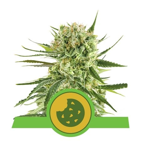 Royal Queen Seeds Royal Cookies Automatic Feminized