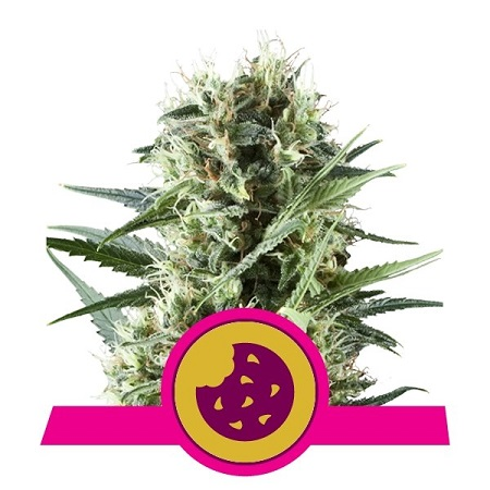 Royal Cookies - Feminized - Royal Queen Seeds