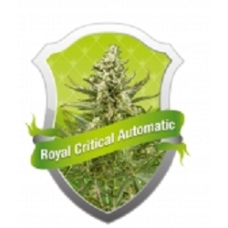 Royal Queen Seeds Royal Critical Automatic Feminized (PICK.N.MIX)