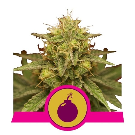 Royal Domina - Feminized - Royal Queen Seeds