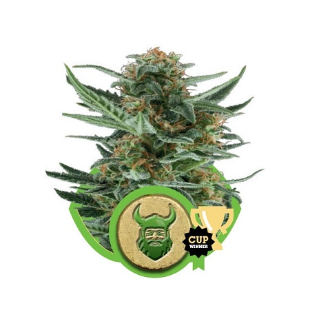 Royal Queen Seeds Royal Dwarf Auto Feminized