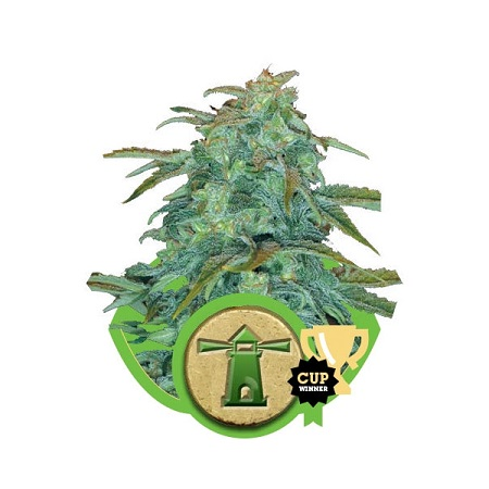 Royal Haze Automatic – Feminized – Royal Queen Seeds