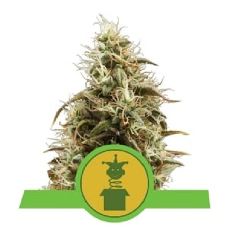 Royal Jack Auto - Feminized - Royal Queen Seeds