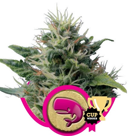 Royal Queen Seeds Royal Moby Feminized