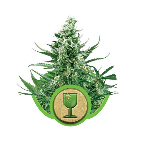 Royal Queen Seeds Royal Critical Auto Feminised