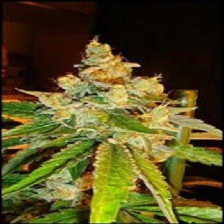 Reserva Privada Seeds Sour Diesel Regular