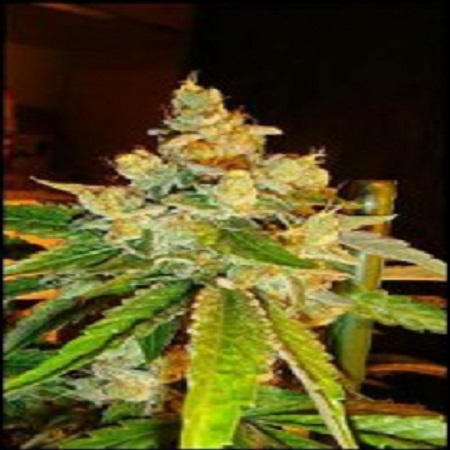 Reserva Privada Seeds Sour Diesel Feminized