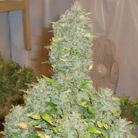 Shortstuff Seeds Russian Rocket Fuel Auto Regular