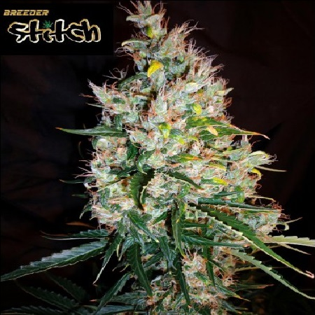 Flash Seeds Russian Haze Auto Regular