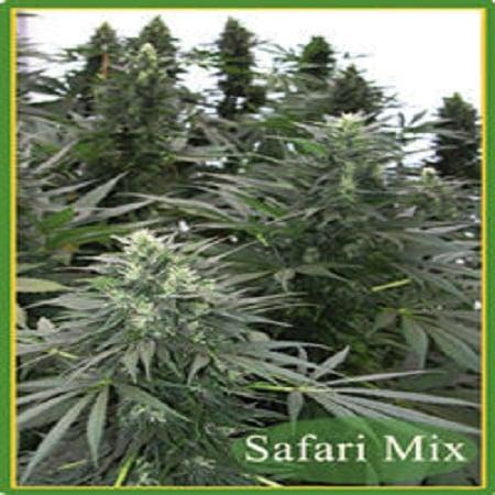 Mandala Seeds Safari Mix Regular