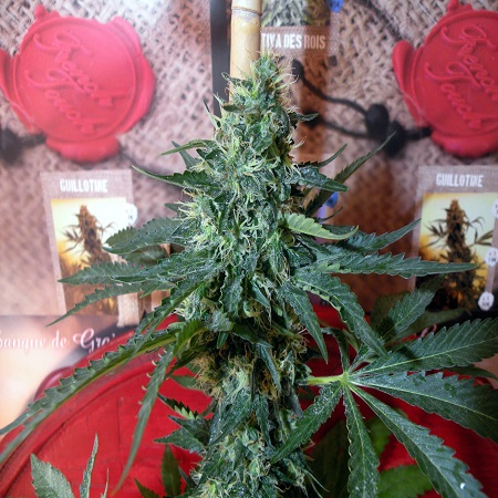 French Touch Seeds Sativa Des Rois Feminized