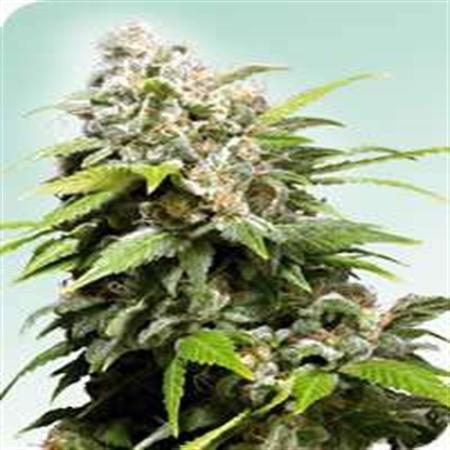 California Indica – Regular – Sensi Seeds
