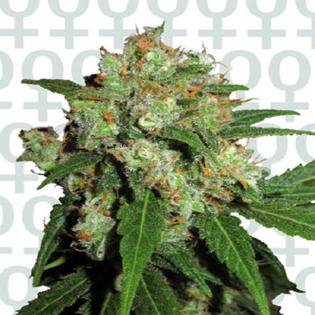 Sensi Seeds Sensi Skunk Feminized