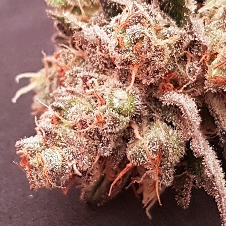Bulk Exclusive Seeds Sherbert Feminized