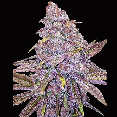 Big Head Seeds Sherbert Dab Feminized