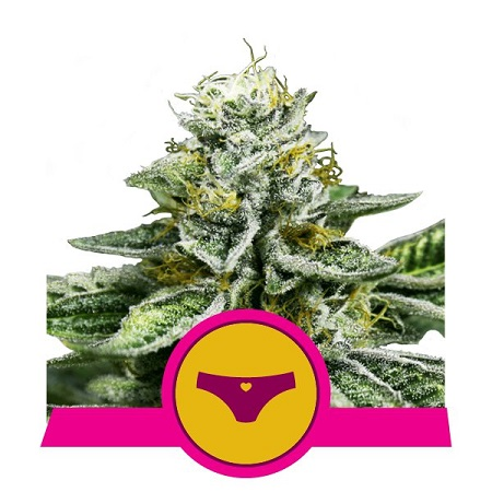 Royal Queen Seeds Sherbet Queen Feminized