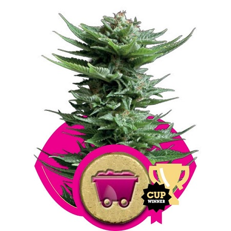 Royal Queen Seeds Shining Silver Haze Feminized