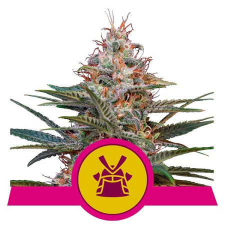 Shogun - Feminized - Royal Queen Seeds
