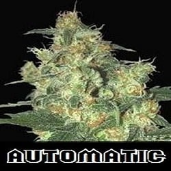 Samsara Seeds Shot Adrenaline Auto Feminised