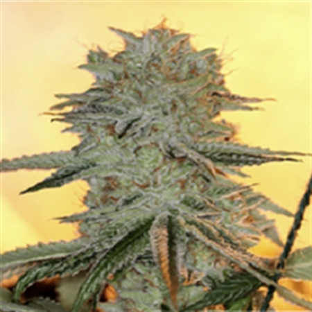Sin City Seeds PowerNap Regular