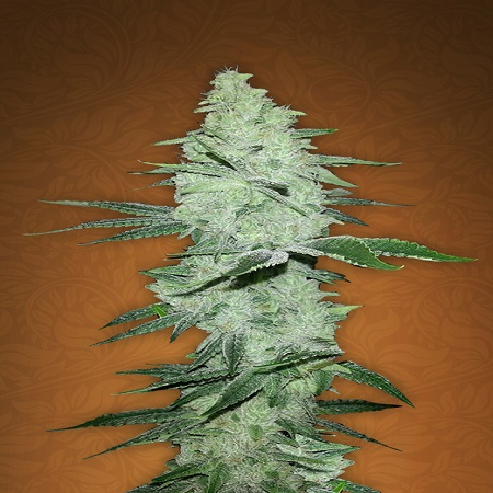 FastBuds Seeds Six Shooter Auto Feminised (PICK N MIX)