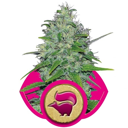 Royal Queen Seeds Skunk XL Feminized