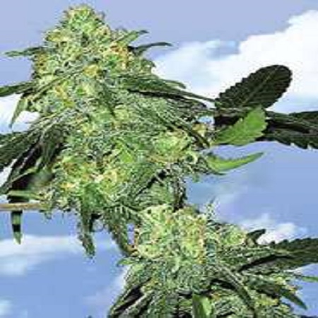 Flying Dutchmen Seeds Skunk Classic Feminized