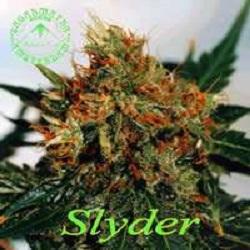 Sagarmatha Seeds Slyder Regular