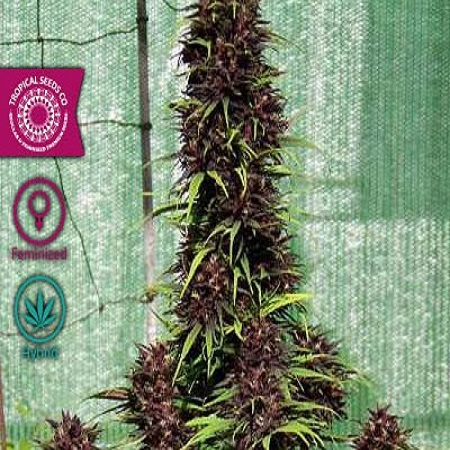 Tropical Seeds Co Smooth Smoke Feminized