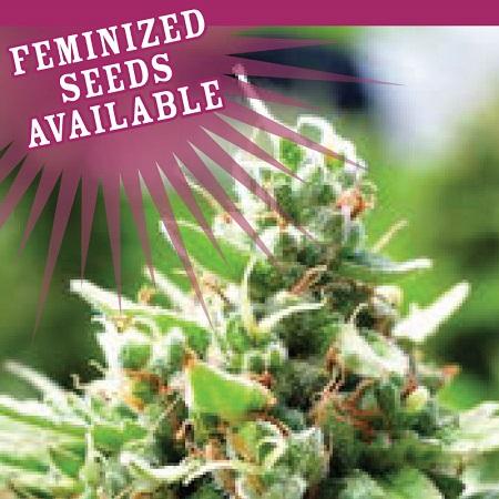 Sol Mate Auto - Feminized Seeds - Humboldt Seed Company
