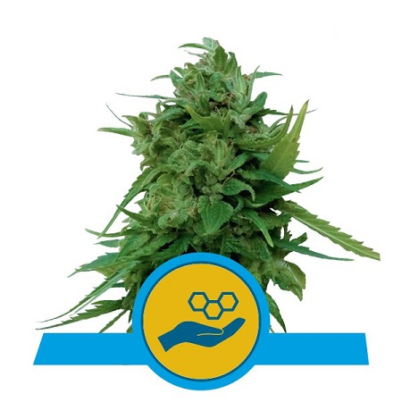 Royal Queen Seeds Solomatic CBD Auto Feminized