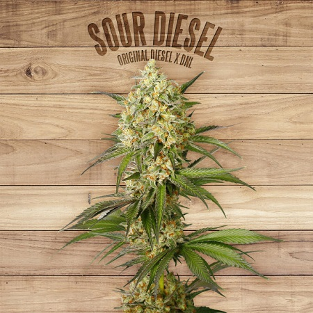 The Plant Organic Seeds Sour Diesel Feminized