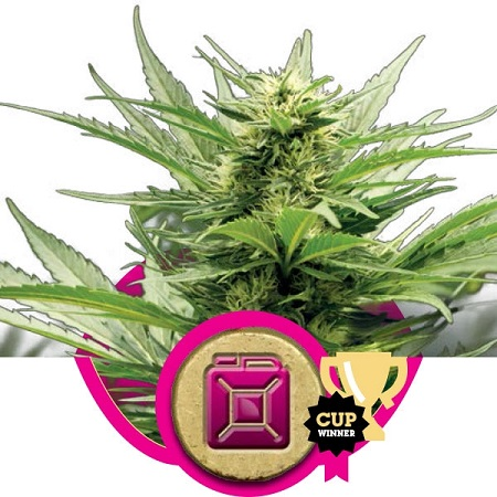 Royal Queen Seeds Sour Diesel Feminized