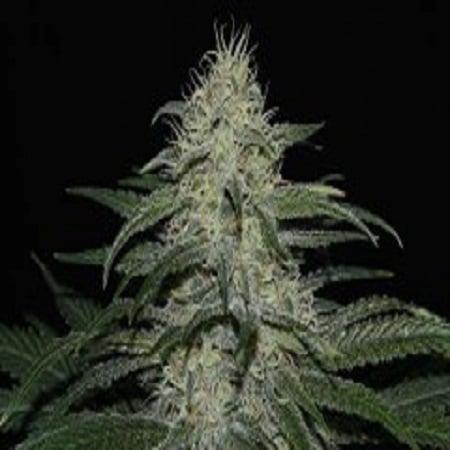 Ultra Genetics Seeds Sour Grape Kush Regular