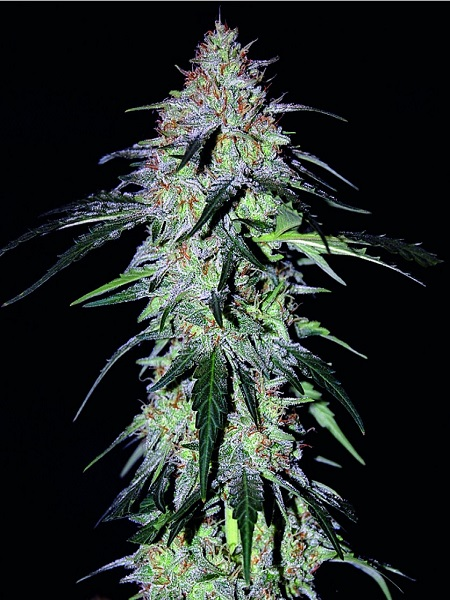Mephisto Genetics Seeds Sound Hound F2 Auto Feminized (PICK N MIX)