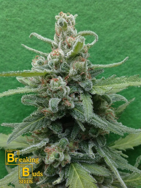 Breaking Buds Seeds Soylent Green Auto Feminized