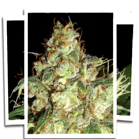 Emerald Triangle Seeds Bubba Cheese Auto Feminized